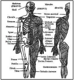 muscular and skeletal system essay The purpose of the muscular system is for the body to m muscular system essay sample bla bla writing anatomy (31) without skeletal muscles.