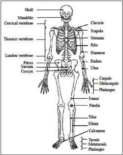 Fractures Of The Calcaneus  heel Bone Fractures furthermore Location Of Ankle Pain additionally Leg Nerve Pain Chart furthermore Muscular And Skeletal System together with Pms. on outer ankle pain diagram